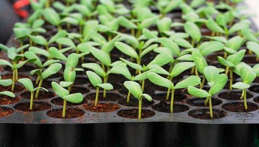 seedling_tray_damping_off.jpg.560x0_q80_crop-smart